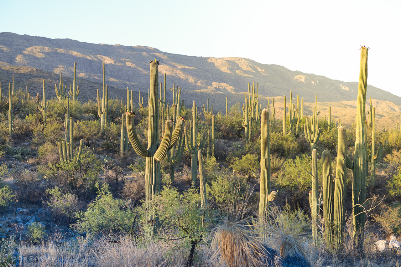 Saguaro National Park - Arizona - USA