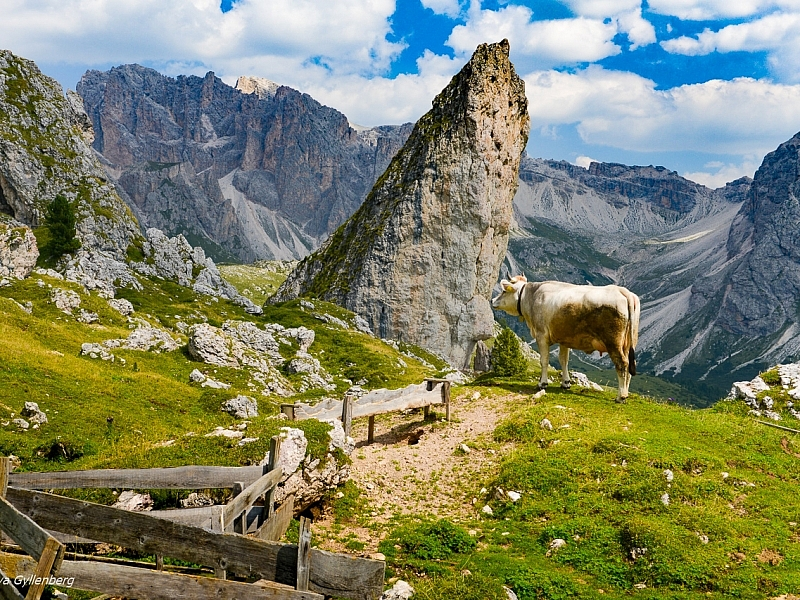 Italy-South Tyrol-Dolomites-Cow