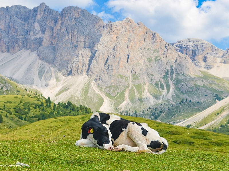South-Tyrol-Dolomites-Italy-Cow
