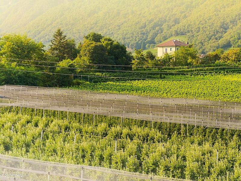 Italy-Dolomites-Bolzano-Vineyard